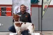 Campeão do MUNDO individual Epagneul Breton
