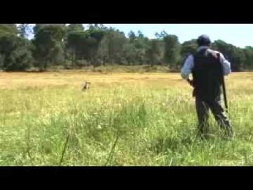 Cães em treino para provas de caça prática